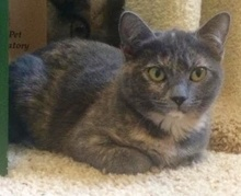 [another picture of Courtney, a Domestic Short Hair dilute tortie\ cat]