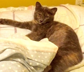 [picture of Courtney, a Domestic Short Hair dilute tortie cat]