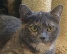 [picture of Courtney, a Domestic Short Hair dilute tortie\ cat]