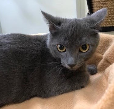 [picture of Carson, a Russian Blue Mix blue\ cat]