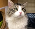 A picture of #ET02202: Alafair a Maine Coon-x black tabby/white