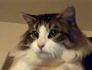 [picture of Alafair, a Maine Coon-x black tabby/white cat]