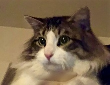[picture of Alafair, a Maine Coon-x black tabby/white\ cat]