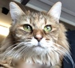A picture of #ET02203: Lori a Maine Coon-x brown