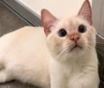 A picture of #ET02204: Jminy Cricket a Siamese flame point
