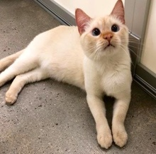 [another picture of Jminy Cricket, a Siamese flame point\ cat]