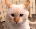 [picture of Jminy Cricket, a Siamese flame point cat]