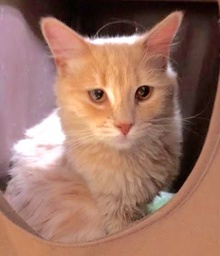 [another picture of Omri, a Domestic Long Hair orange\ cat]