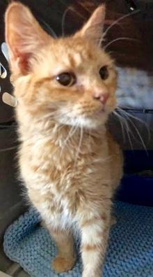 [picture of Olin, a Domestic Medium Hair orange cat]