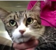 A picture of #ET02208: Krizza a Domestic Short Hair gray tick tabby/white