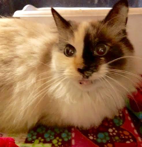 [picture of Ohana, a Ragdoll Mix snowshoe\ cat]