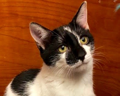 [picture of Boo Bear, a Domestic Short Hair black/white\ cat]