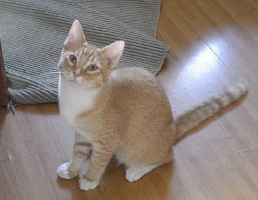 [picture of Lenmmon, a Domestic Short Hair orange/white cat]