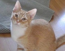 A picture of #ET02213: Lenmmon a Domestic Short Hair orange/white