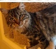 A picture of #ET02215: MarryAnne a Maine Coon-x brown tabby/white