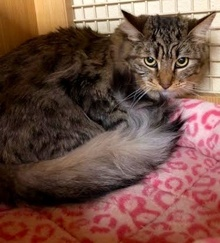 [another picture of MarryAnne, a Maine Coon-x brown tabby/white\ cat]