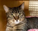 A picture of #ET02216: Chloe a Domestic Short Hair brown tabby