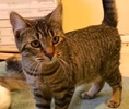 [picture of Chloe, a Domestic Short Hair brown tabby cat]