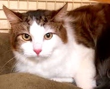 [picture of Trace, a Maine Coon-x white/brown tabby\ cat]