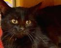 A picture of #ET02219: Louie a Bombay Mix black