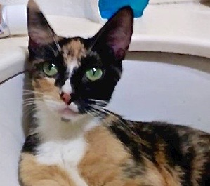 [picture of Love, a Domestic Short Hair calico\ cat]