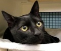 A picture of #ET02221: Mystic a Domestic Short Hair black