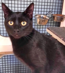 [another picture of Mystic, a Domestic Short Hair black\ cat]
