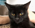 A picture of #ET02222: Tippie a Domestic Short Hair black