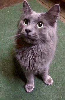 [picture of Keanu, a Maine Coon-x blue cat]