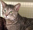 A picture of #ET02225: Baloo a Domestic Short Hair blue tabby