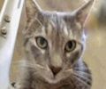 [picture of Baloo, a Domestic Short Hair blue tabby cat]