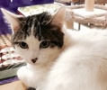A picture of #ET02226: Little Mr a Turkish Van Mix white/brown tabby