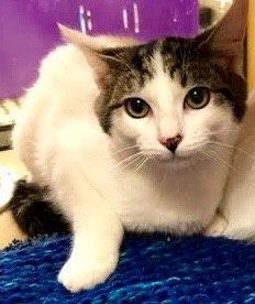 [another picture of Little Mr, a Turkish Van Mix white/brown tabby\ cat]