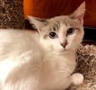 A picture of #ET02227: Little Ms a Siamese lynx point