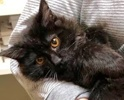 A picture of #ET02229: Perris a Ragdoll Mix choclate