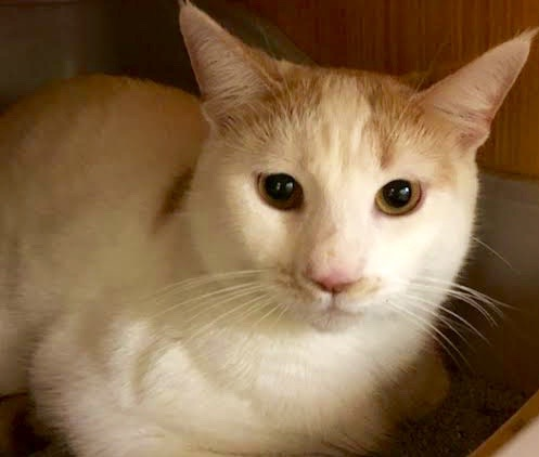 [another picture of Markus, a Turkish Van Mix white/orange\ cat]