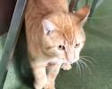 [picture of Ezekeil, a Bobtail orange cat]