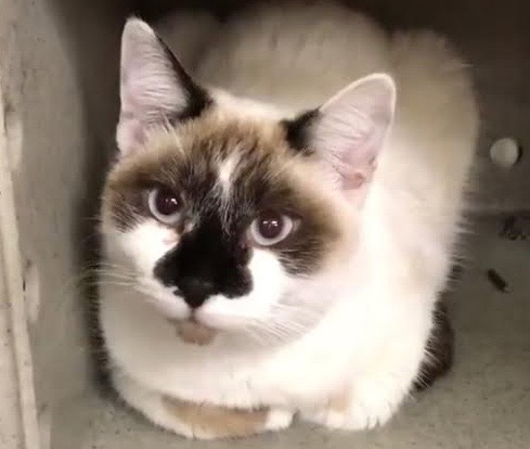 [picture of Teeja, a Siamese Mix snowshoe\ cat]