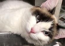 [picture of Tavia, a Siamese Mix snowshoe\ cat]