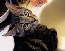 [picture of Tie, a Domestic Short Hair gray marble\ cat]