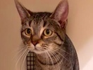 A picture of #ET02235: Alice a Domestic Short Hair gray tabby
