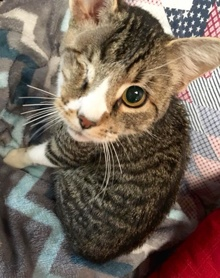 [another picture of Chase, a Domestic Short Hair gray tabby\ cat]