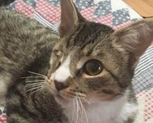 [picture of Chase, a Domestic Short Hair gray tabby\ cat]