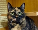 A picture of #ET02237: Nausie a Domestic Short Hair tortie