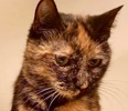 [picture of Nausie, a Domestic Short Hair tortie cat]