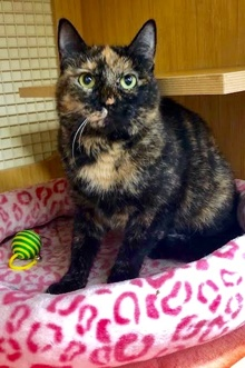 [picture of Nausie, a Domestic Short Hair tortie\ cat]