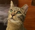 A picture of #ET02238: Mittens a Hemmingway Polidactyl gray tabby