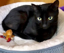 [another picture of Jasper, a Bombay black\ cat]