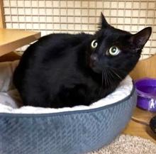 [picture of Jasper, a Bombay black cat]