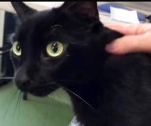 [picture of Jasper, a Bombay black\ cat]